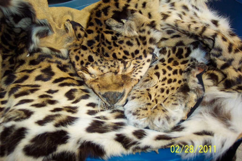 N. Chinese Leopard