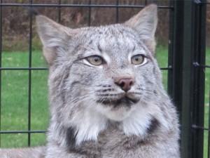Maxwell C Lynx