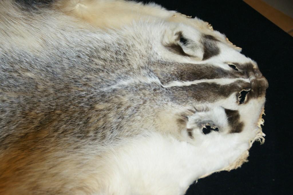 badger pelt2