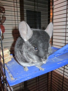 Chewy Coco Chinchilla