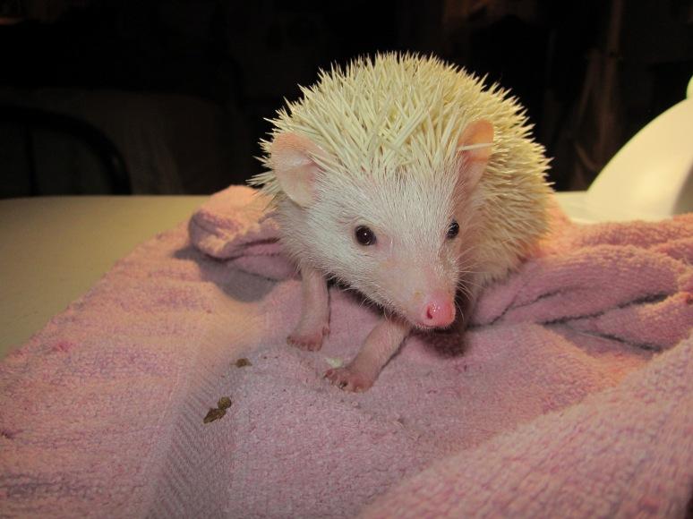 Twitch Hedgehog