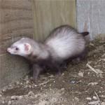 Pansy Ferret