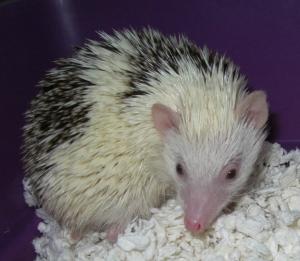 Velvet Hedgehog