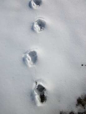 Looks like cat tracks