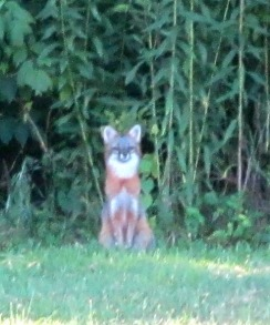 Another visitor - Grey Fox